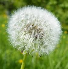 File:Dandelion Seed Head (Taraxacum officinale) (3560536510).jpg ...