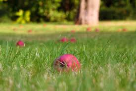 Fallen Apples In Grass Free Stock Photo - Public Domain Pictures