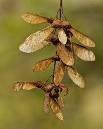 Sycamore seeds | Some of the seeds are wandering out of the … | Flickr